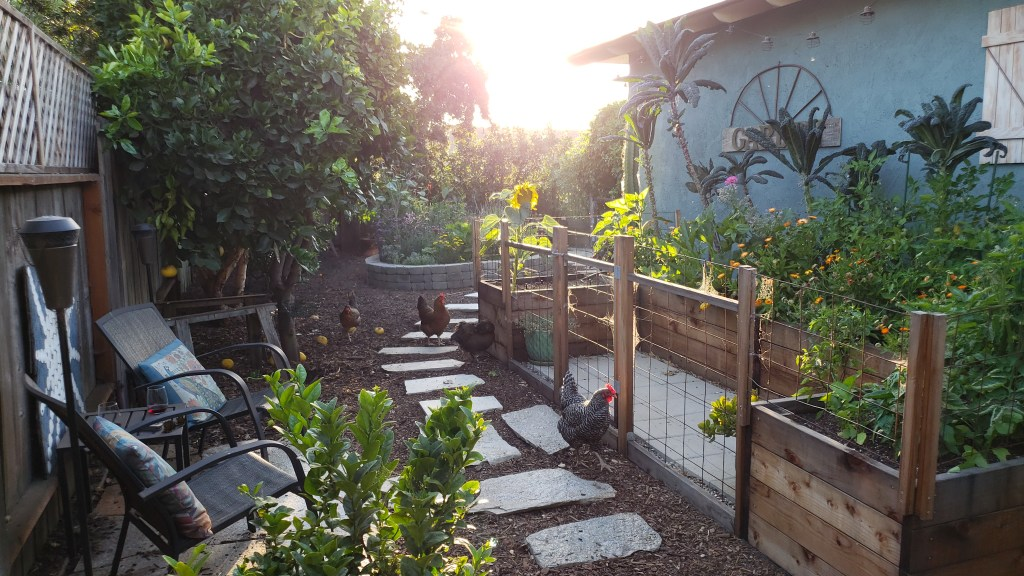 """The Homestead and Chill """"coop garden"""" area. It is a U-shaped garden space, made up of four large redwood raised garden beds. It has wire fencing to prevent the free-range backyard chickens from getting in, that are shown in the photo next to it. The beds are full of very tall kale plants, peppers, and flowers like calendula and marigolds. A stone pathway and small stone patio complete the space, with a place for us to sit and enjoy a beverage with the girls in the evening."""