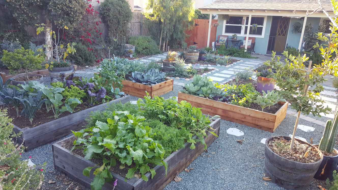 Another view of the Homestead and Chill front yard garden. There are four large redwood raised garden beds that are overflowing with homegrown produce, including kale, carrots, cabbage, broccoli, mustard greens, and turnips. There are wine barrels with fruit trees, gravel pathways, and the small blue house in the distance.