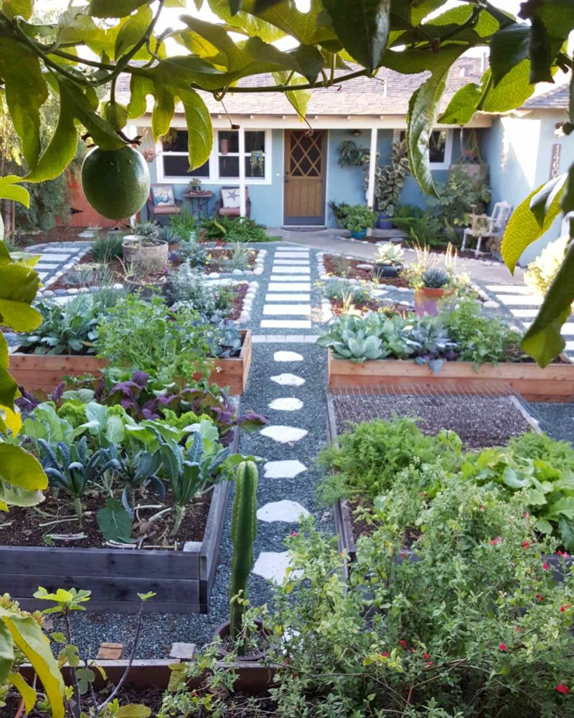 Peeking through passion fruit vines into a front yard garden. There is no grass in the front yard. A modest blue house with yellow door is in the distance. In the garden, there are several redwood raised garden beds, small blue gravel around them, large stone pathways between the beds. The garden beds are full of kale, cabbage, and other winter greens. Other areas of the yard have flowers, perennials, and fruit trees.