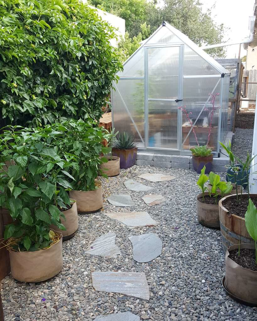 A modest greenhouse sits on a stone foundation, with river rock around it, and a stone path leading to it's door. To the left, a huge lush passionfruit vine grows. There are several fabric pots with large pepper plants growing in them.