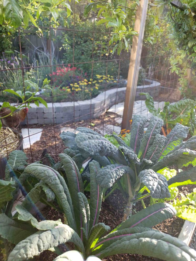 """Peering out from the patio garden to the """"pollinator island"""" beyond. The kale in the foreground is Dazzling Blue Lacinato ~ our favorite kale variety! The pollinator island is full of blooming flowers of every color, and a happy free-range chicken explores the yard."""