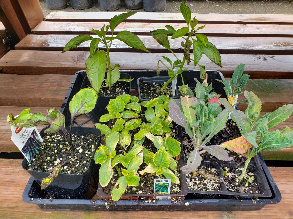 A photo of discolored, yellow, partially wilted seedlings at a nursery. Included are cucumber, peppers, kale, and eggplant seedlings.