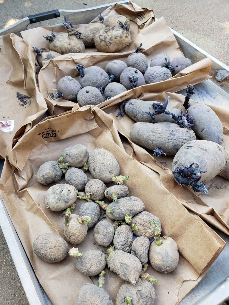 Five paper bags are flattened on top of a large tray. On top of each paper bag is a little pile of different type of seed potato. They are all sprouting. Some are small and more green, some are large a purple.