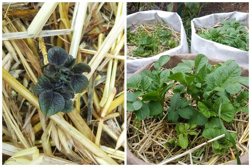 Two photos. On the left, a tiny purple green potato sprout is pushing up through straw. On the right, large leafy potato greens are now emerged, in three different fabric grow bags.