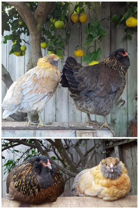 Two easter egger chickens on a roost. One is brown with yellow neck feathers, and one is more blonde and orange with a blue grey beard.