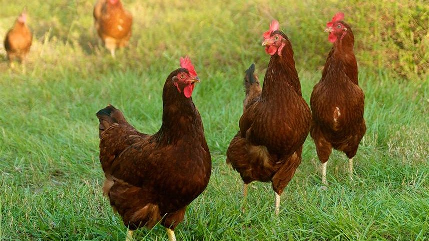 Three Rhode Island Red hens in the grass, a classic and common breed of chicken
