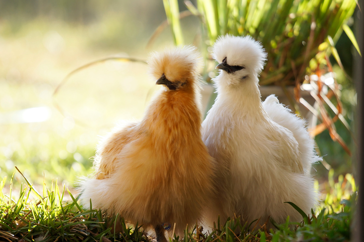 Two fuzzy silkie hens - one buff and one white - foraging in the back yard.