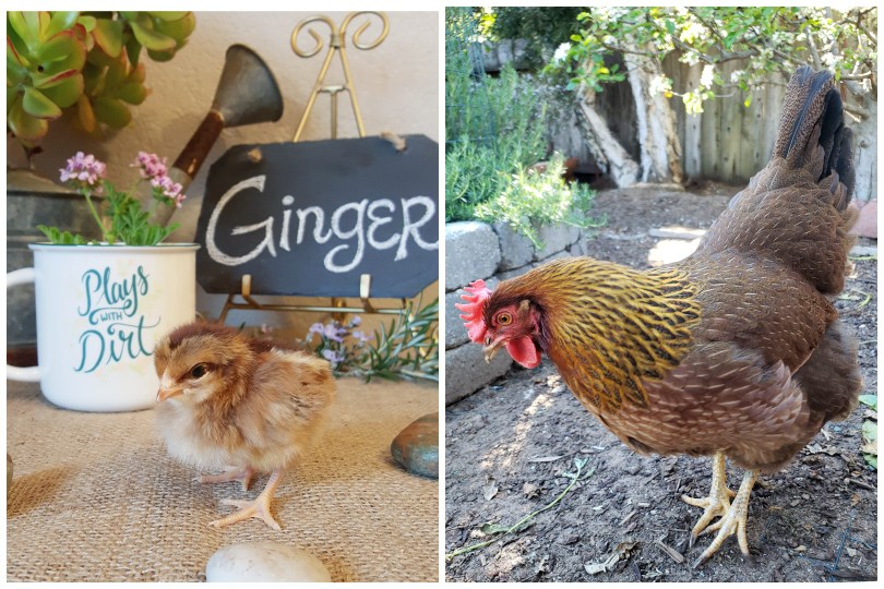 Two images of a Welsummer. One is a day old chick, very tiny, brown, and fluffy. As an adult hen, she has bright yellow neck feathers, a reddish brown body, and large red comb and wattles.