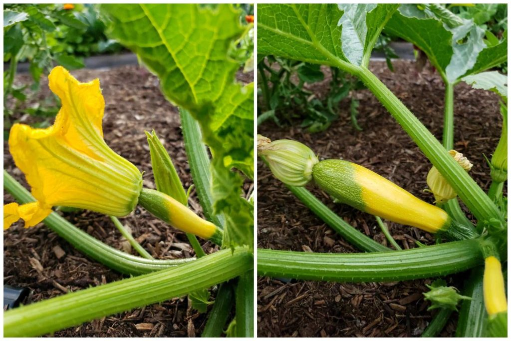 Two side by side images of the same young squash from the same angle. It is small with a large open flower on the left, and larger with the flower now closed on the right - four days after pollination and noticeably larger.