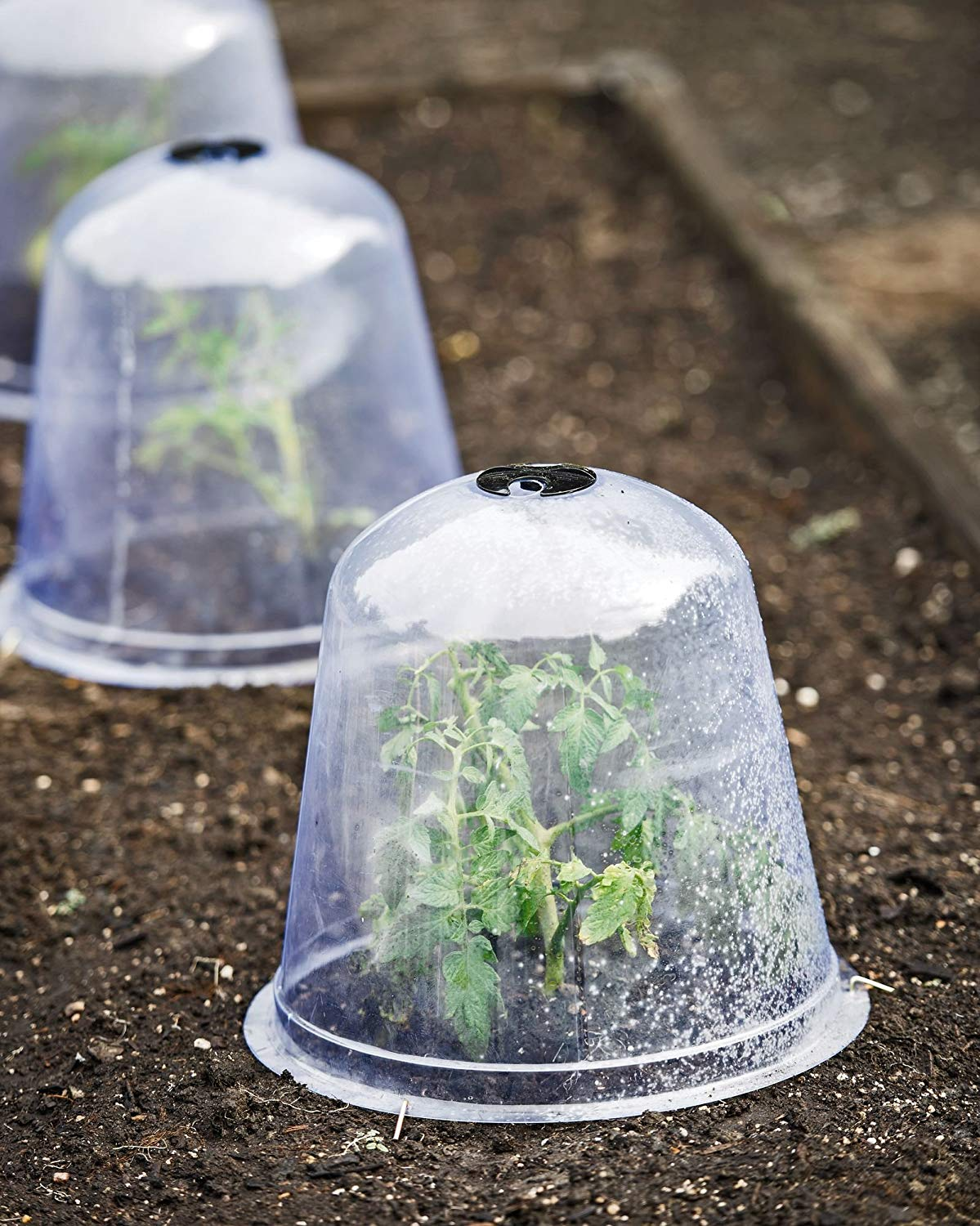 A close up image of three young tomato looking plants in a row in a garden bed. Each one has a plastic dome placed over the top of it. The insides of the domes have condensation building up on the sides of the domes.