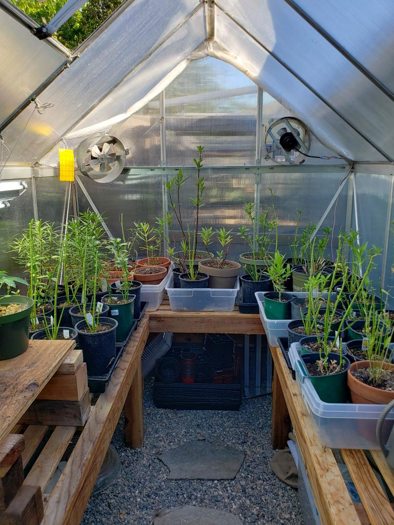 An image of the inside of a small greenhouse which is lined with wooden tables on three sides. There are storage containers of various sizes on the tables with many potted plants sitting inside of the storage containers. There are two fans at the end of the greenhouse one blowing directly inside of the greenhouse and the other is set up as an exhaust fan blowing out. There is also a yellow sticky trap hanging just to the left of the fan on the left side of the image.