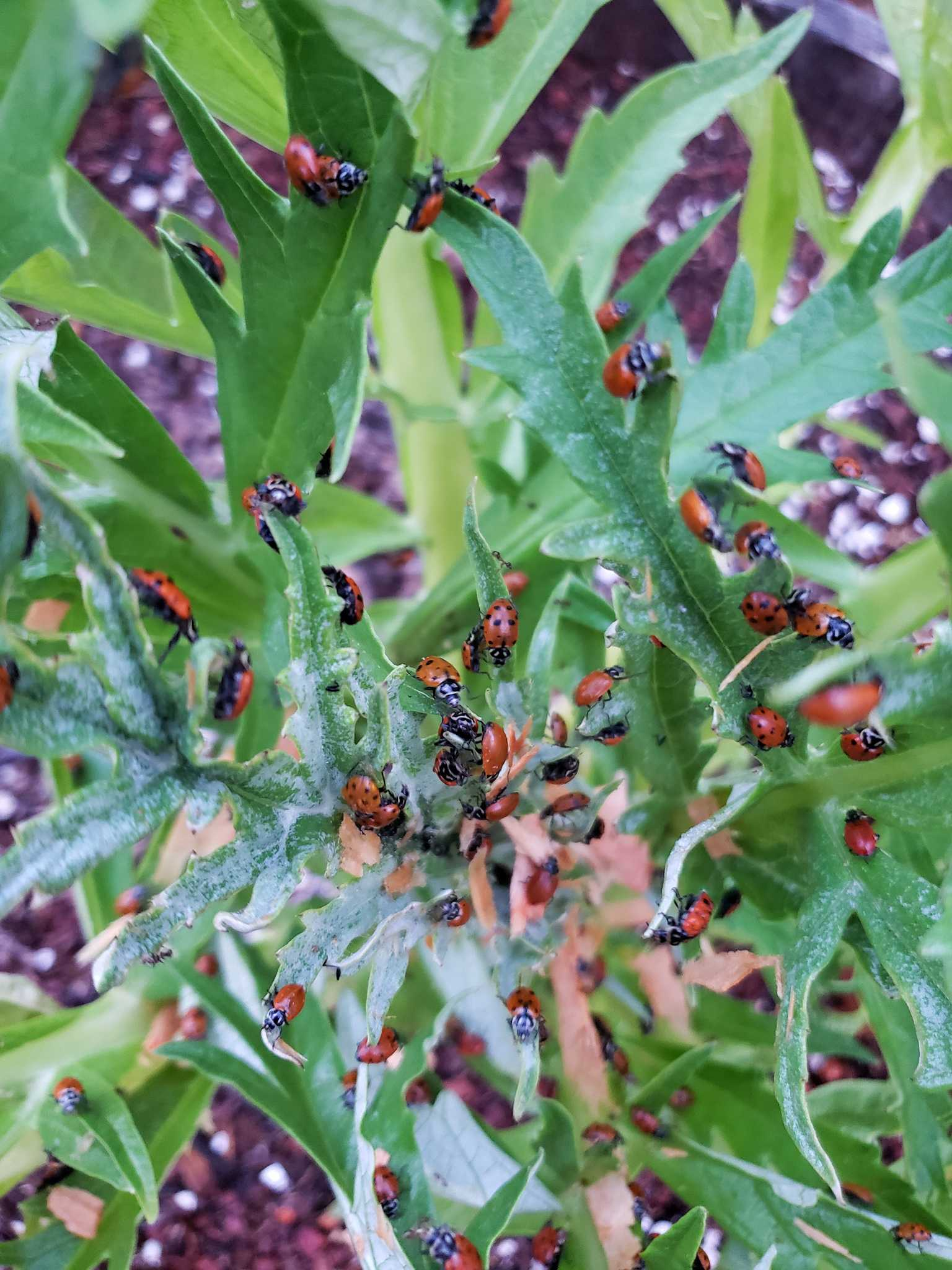 A close up image of the middle of an artichoke plant that is covered in hundreds of spotted lady bugs.