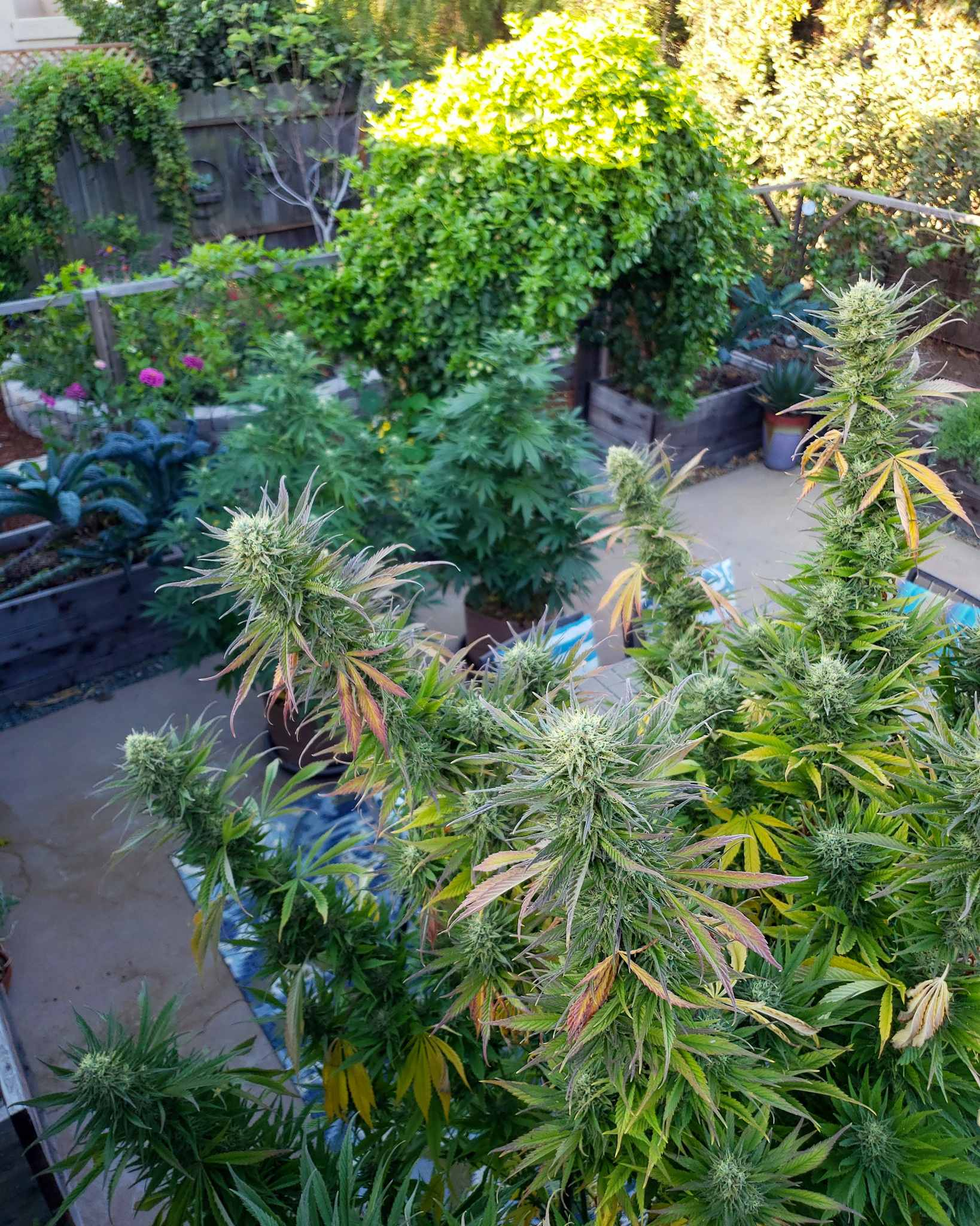 An image taken from the rooftop of a house towards a backyard patio, there is a tall cannabis pant stretching all the way to the center of the image, the plant has yellowing leaves and swollen  buds. There are two younger and smaller cannabis plants in the background amongst raised garden beds with various types of kale growing among other plants as well.