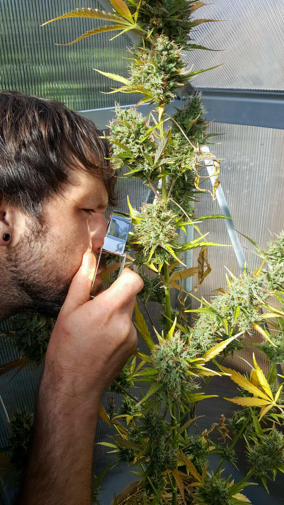 A man is looking at a mature auto flowering cannabis plant through a jewelers loupe. The plant has swollen buds and yellowing leaves, some of which are starting to fall off the plant.