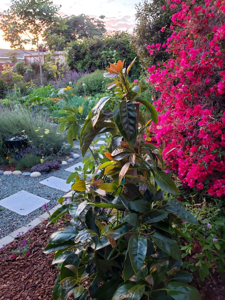 A newly planted Fuerte Avocado is front and center amongst a background of pink bougainvillea, lavender, yellow yarrow, green vines, and various small trees with a setting sun on the horizon casting an orange glow.