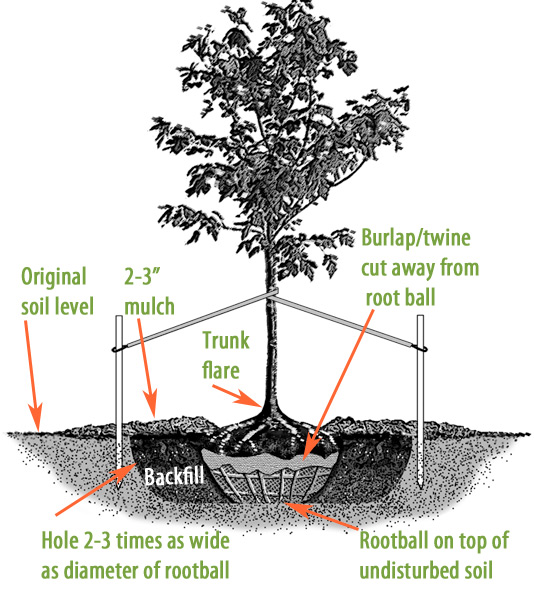 A diagram of a new tree sitting in its newly dug hole. It shows the tree being staked with two stakes on opposite sides of the tree, pulling it each direction which keeps it steady and upright. It also plant the tree in a hole two to three times larger than the rootball, also that the root ball is sitting just above the ground level, backfill native soil to cover rootball, and to use two to three inches of mulch.