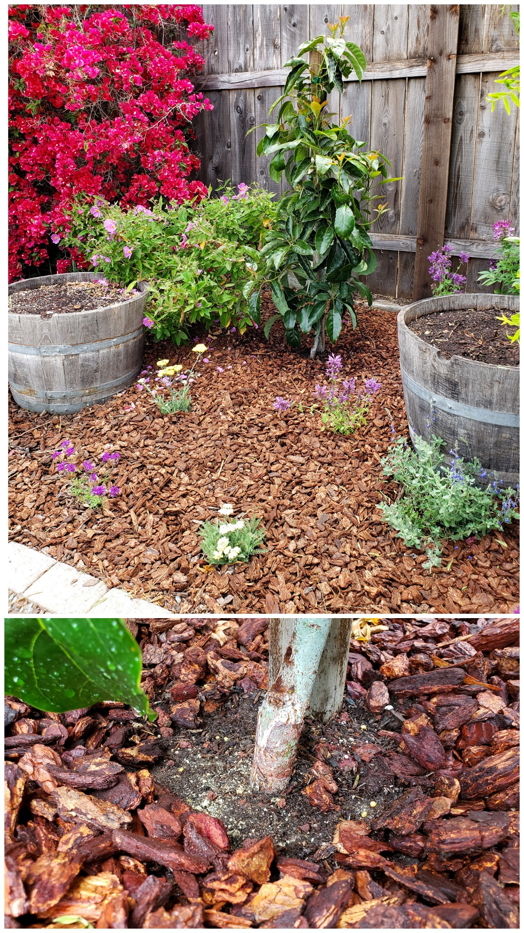 A two way image collage, the first is of a newly planted Fuerte avocado, it has been mulched with redwood bark and various perennials are planted around the vicinity. The second image shows a closeup of the the trunk of the tree at the soil line, showing that there is no mulch touching the tree which can cause rot and disease.