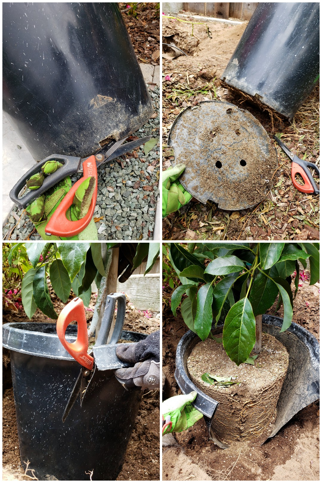 A four way image collage of how to easily remove a nursery pot from a large, root bound tree. The first image shows a pair of scissors starting to cut along the bottom side of the nursery pot. The second image shows the bottom of the nursery pot cut out, the circular plastic piece is covered in dirt and a few roots. The third image shows the scissors now cutting down the side of the pot starting from the top and working towards the bottom. The fourth image shows the pot and tree sitting in its planting hole with the side cut all the way through and somewhat falling away from the exposed root ball. From here it is easy to peel it away and pull if from the root ball.