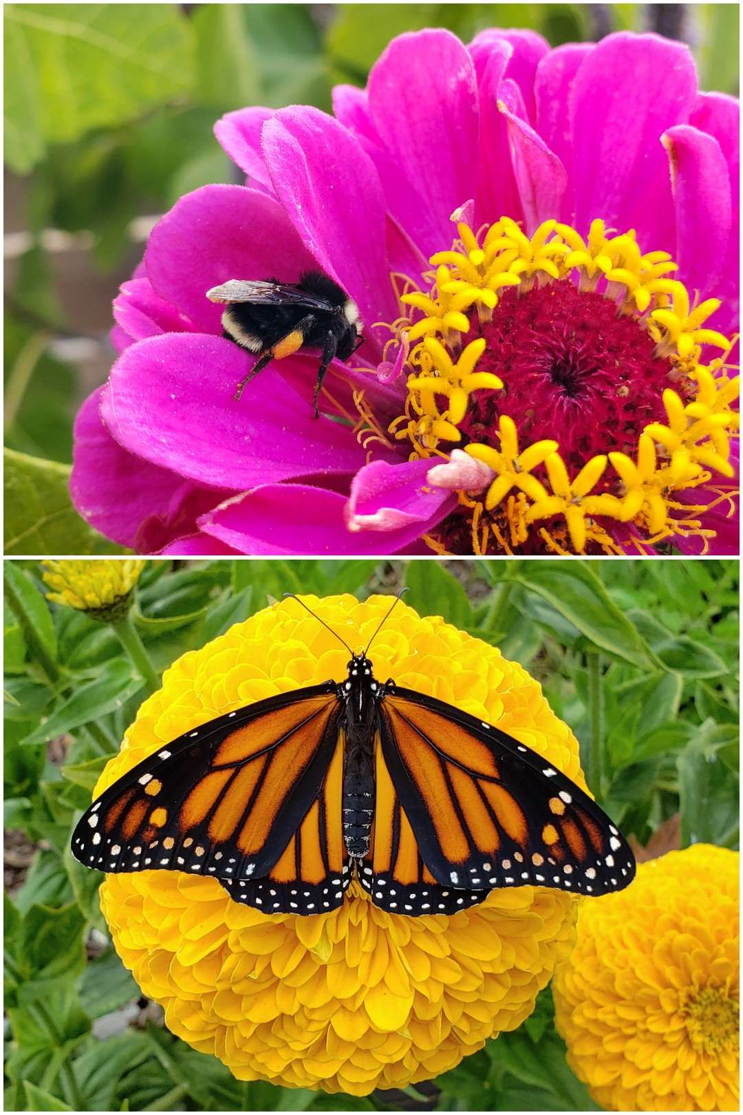 Top 23 Plants For Pollinators Attract Bees Butterflies Hummingbirds Homestead And Chill