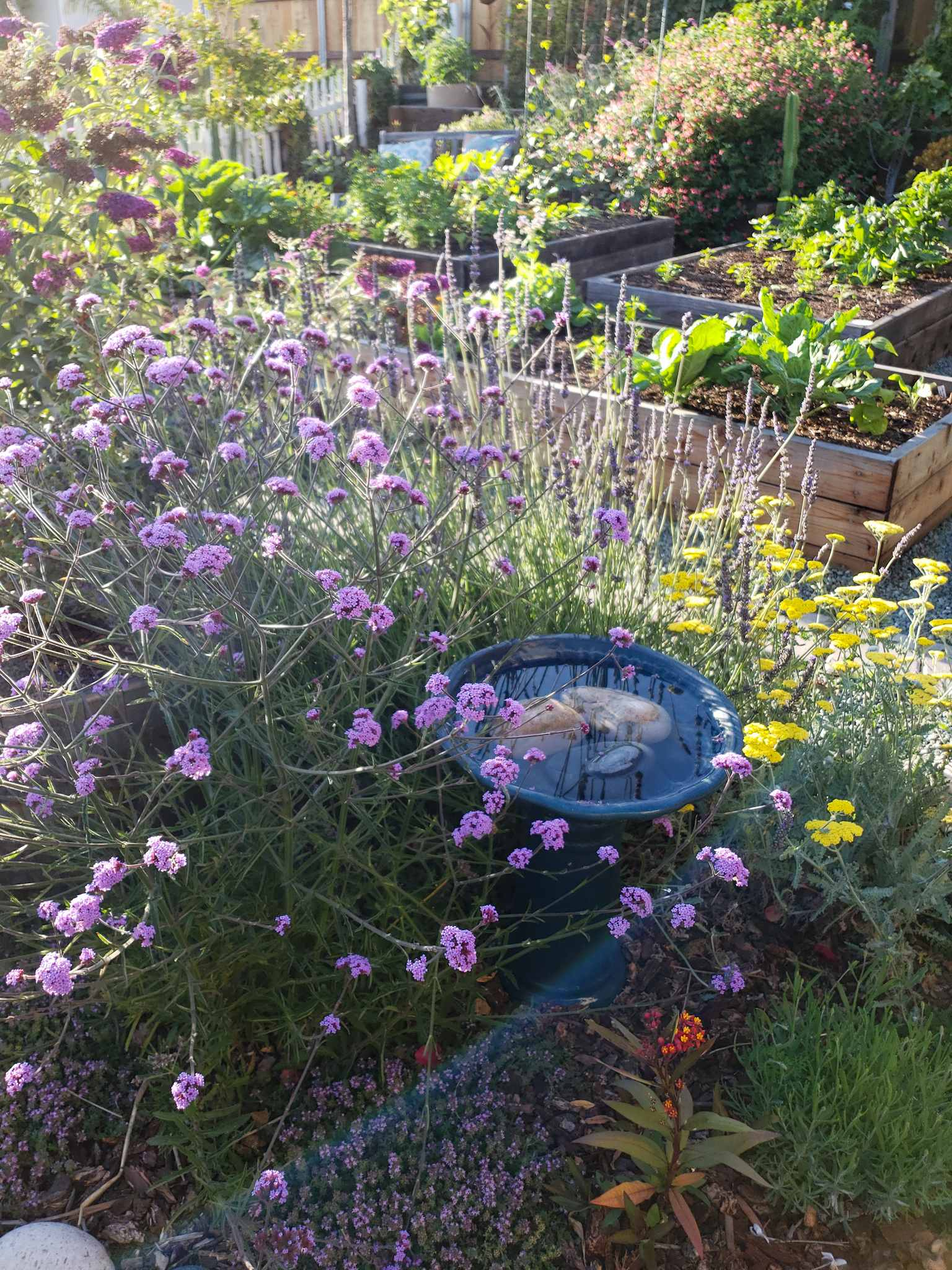 A bird bath is shown full to the brim with three larger rocks sitting in the middle of it. It is nestled amongst large verbena, lavender, and yarrow, with thyme and milkweed at the foot of the bath. Beyond the bird bath there are various wood raised garden beds full of vegetables with some larger perennials and cacti further in the background.