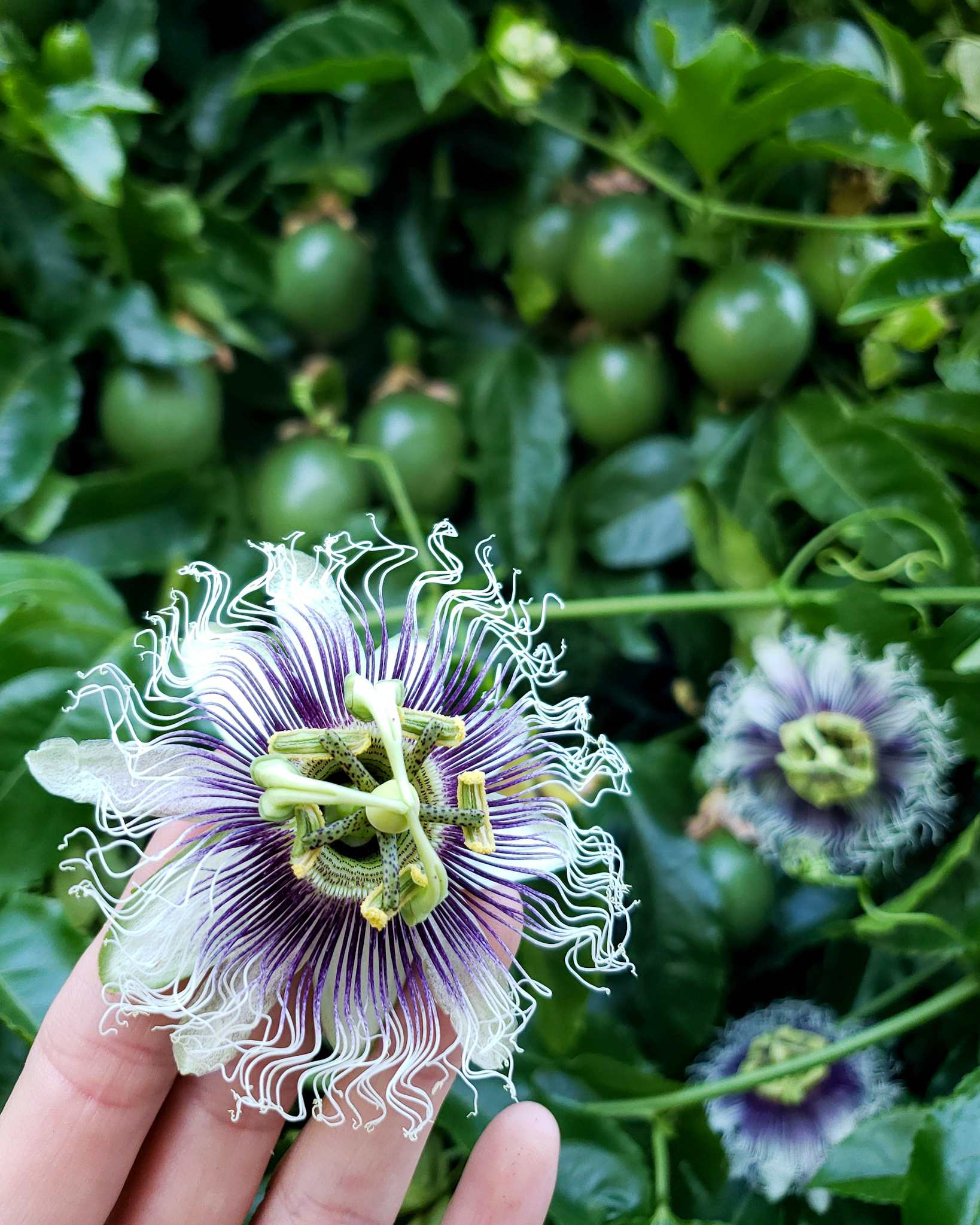 How To Grow Purple Passion Fruit Vs Maypops The Ultimate Guide