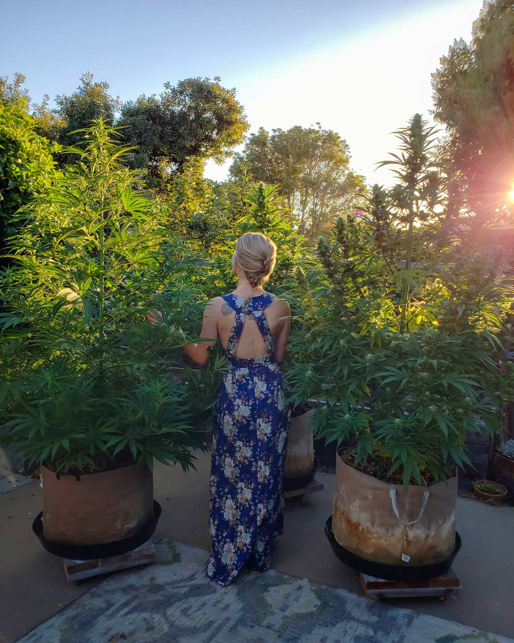A woman wearing a blue dress with floral print is standing amongst three cannabis plants that are growing in 25 gallon fabric grow bags. They are all much taller than she is and the sun is shining in through the plants, illuminating the area in a warm glow.