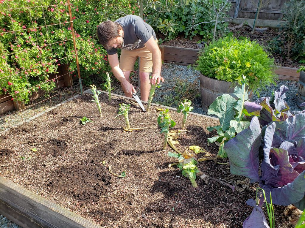 A man is leaning over a garden bed with a hand saw, he is sawing the stems of plants off at the soil line, leaving the roots behind in the soil. The plants resemble trunks sticking out of the soil, these were leafy green vegetables or cauliflower and there greens have all been striped from the plant. There is a half wine barrel with carrot greens sprouting out of the top in the background, along with various other pollinator plants, trees, and shrubs.