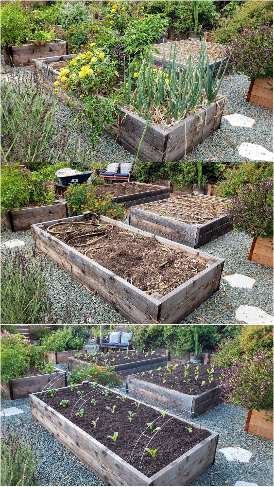A three part image collage, the first image shows a number of garden beds, most of them are full of mature plants that are still producing fruit. There are various pollinator plants planted throughout the area as well. The second image shows the same garden beds, however, all of them are now empty except one. There are soaker hoses sitting in two of the three beds and some of the soil looks disturbed from removing the plants. The third image shows the same garden beds after being re-amended with fertilizer and fresh compost. The garden beds have also been planted out with tender young seedlings, spaced in neat rows, all standing up perky, pointing towards the sun.