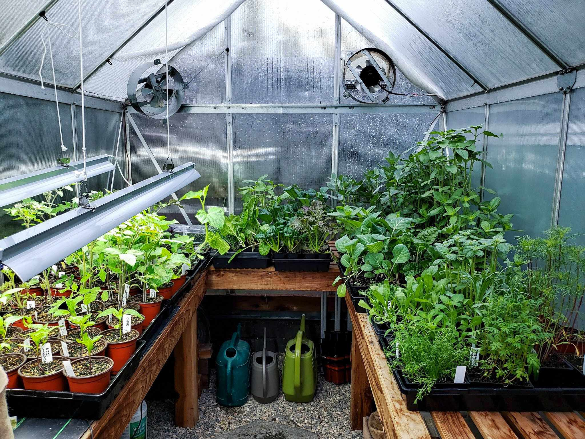 a view inside a small hobby greenhouse, showing slatted redwood benches full of containers of seedlings.
