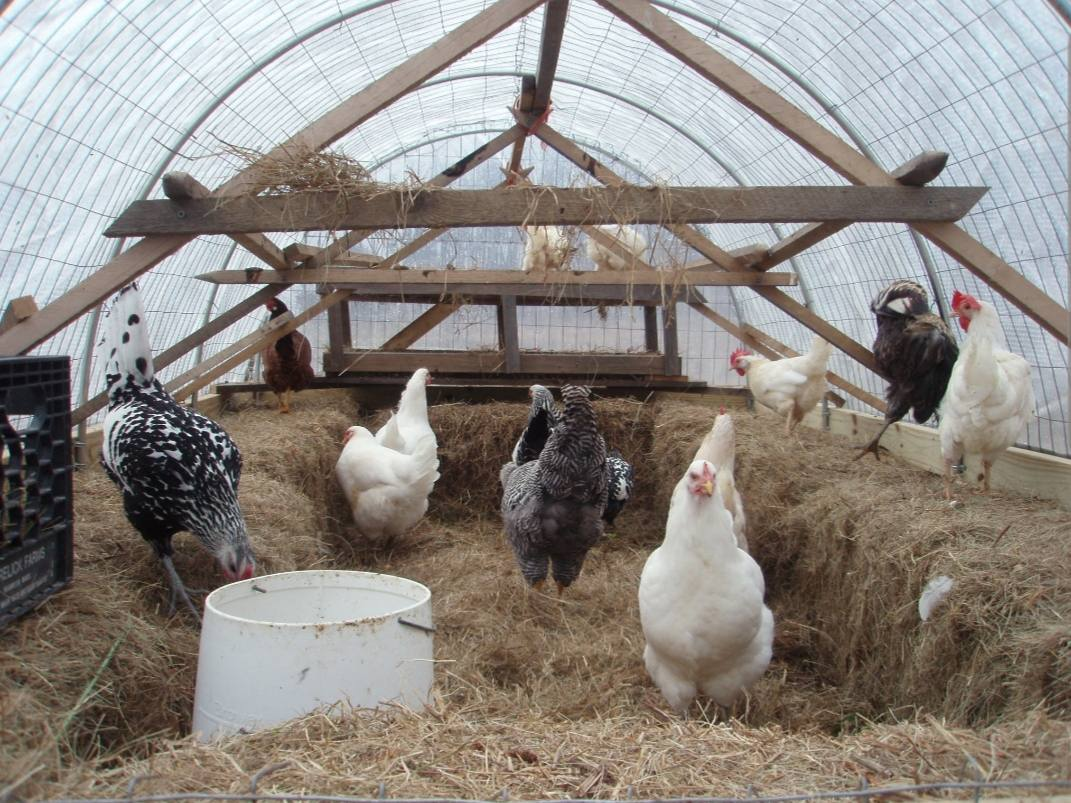 The inside of a chicken coop is shown that has been made out of a poly tunnel. There are 4x4's of wood beams made into an a frame to create space for roosting. The bottom of the floor is covered in straw and the outside is lined in hay bales. There are chickens scattered throughout the area, some are on the hay bales, some  are in the center area surrounded by the bales, and two chickens are roosting on the back section of a-frames.