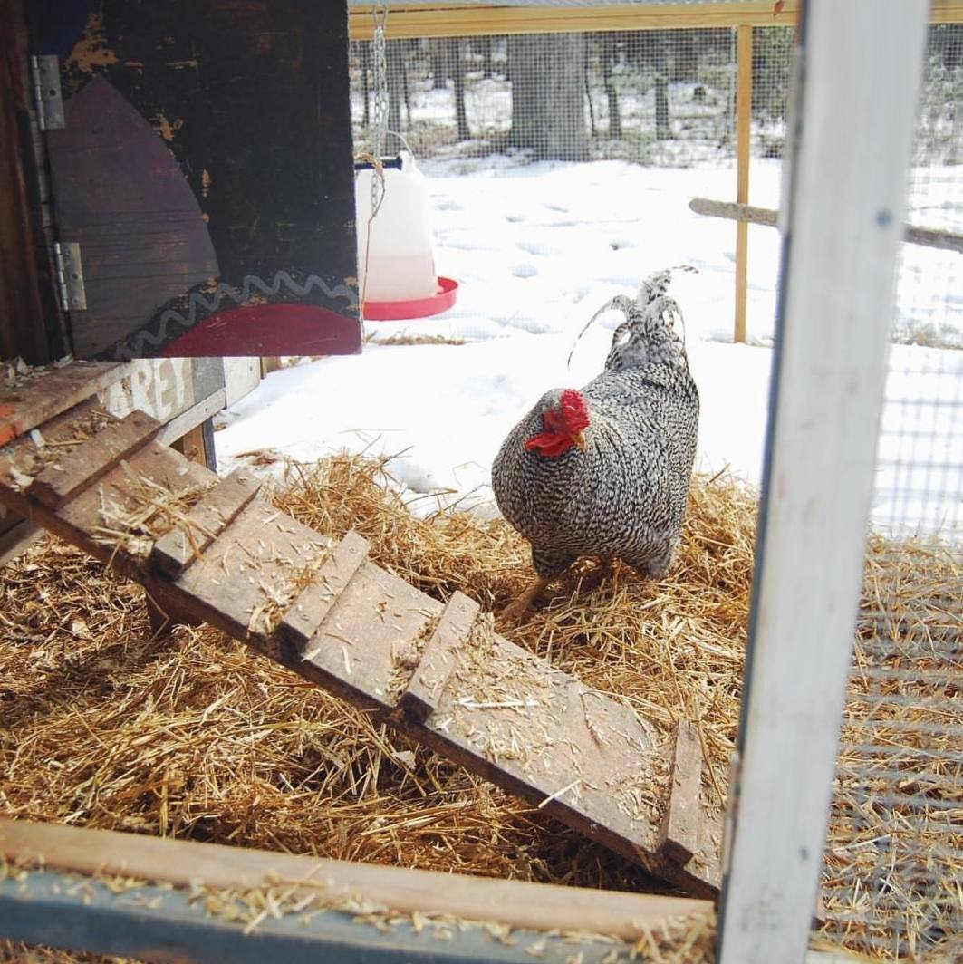 The outside of a chicken coop is shown with a chicken next to the ladder that leads within. There is straw scattered throughout the front landing area that provides cover from the snow beneath. Beyond the straw, the ground is covered in snow.