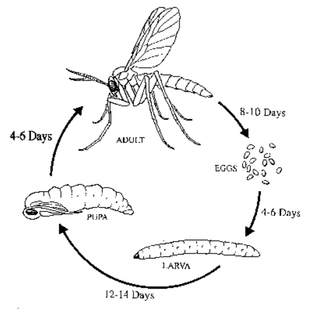A diagram depicting the life cycle of a fungus gnat starting from adulthood to laying eggs, larva, pupa, and into an adult. There are an amount of days listed for each part of the life cycle.