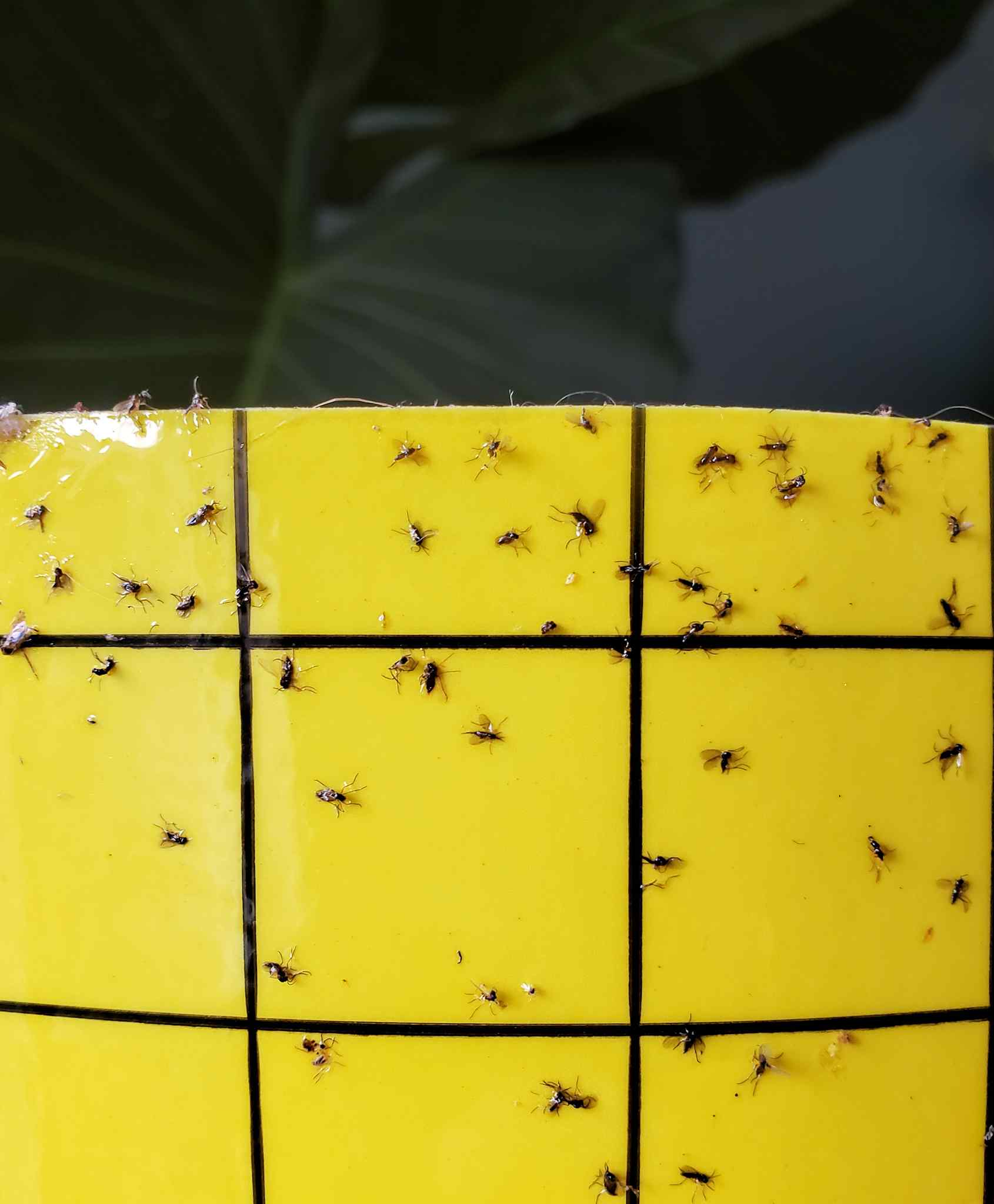 A close up image of a yellow sticky trap for flying insects. There are many small fungus gnats stuck to the trap, they are drawn to the color and easily become stuck on the trap due to how sticky it is.