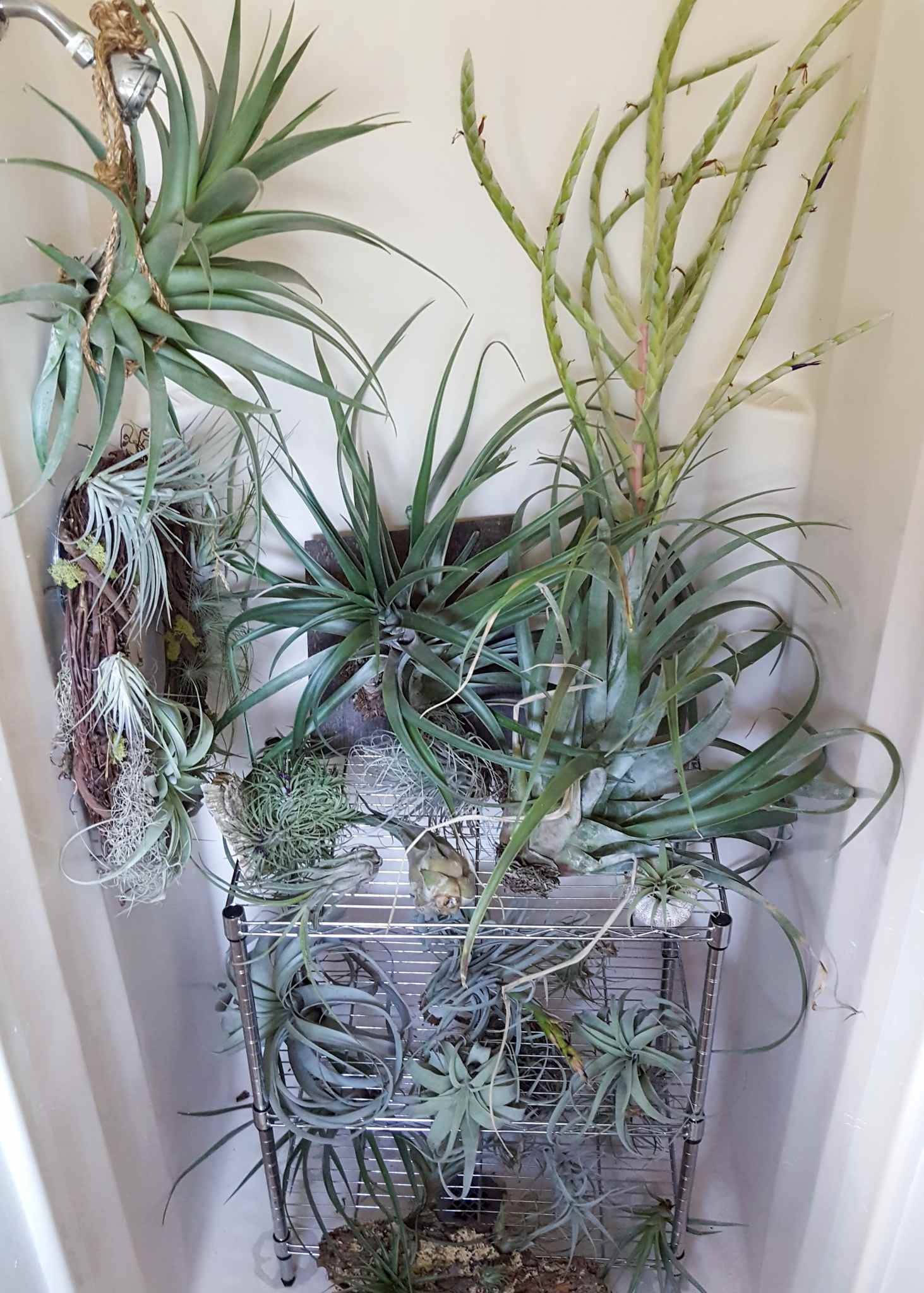 Air Plant Care 101 How To Not Kill Your Tillandsia Homestead
