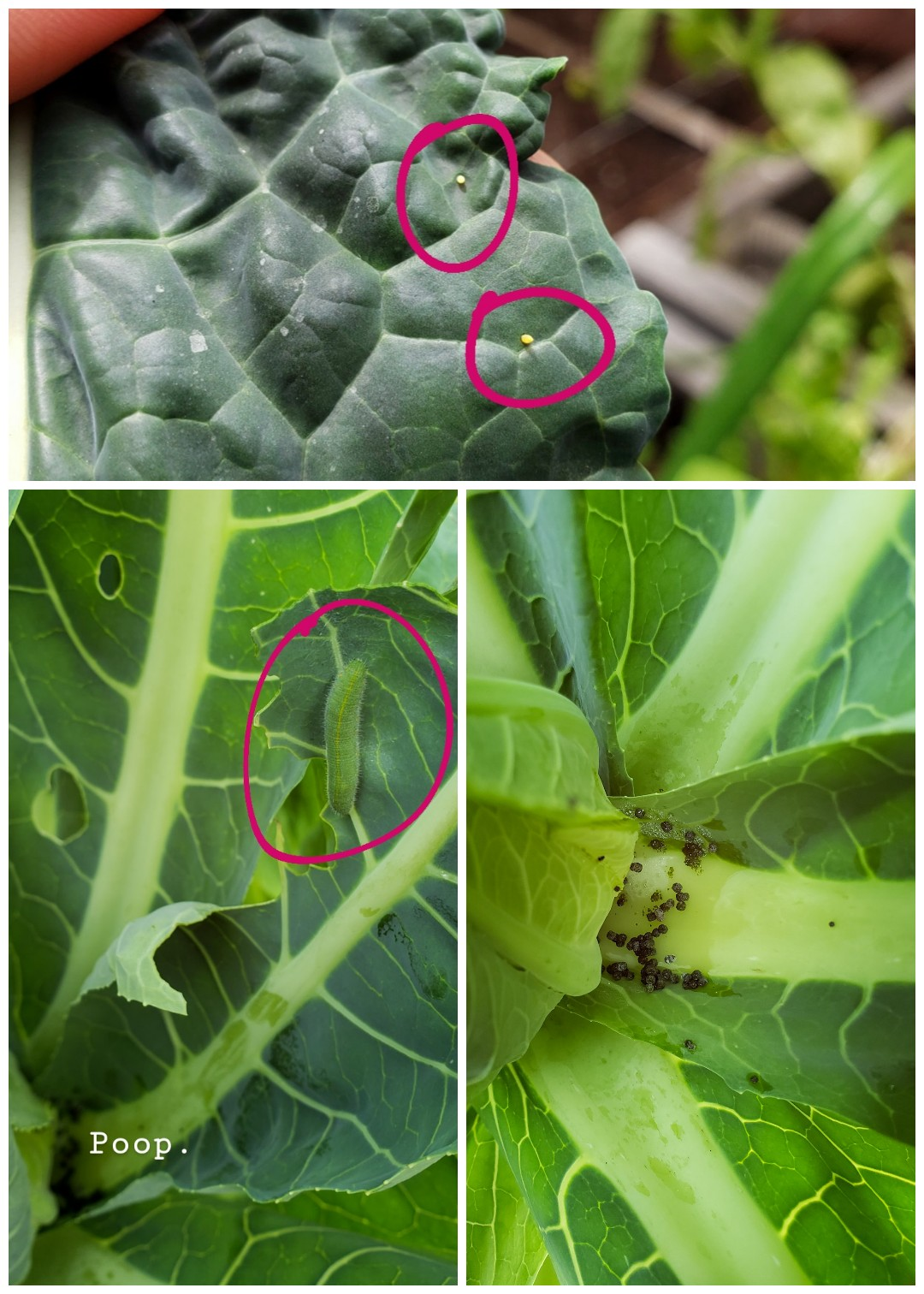 8 Organic Ways To Get Rid Of Cabbage Worms Cabbage Moths