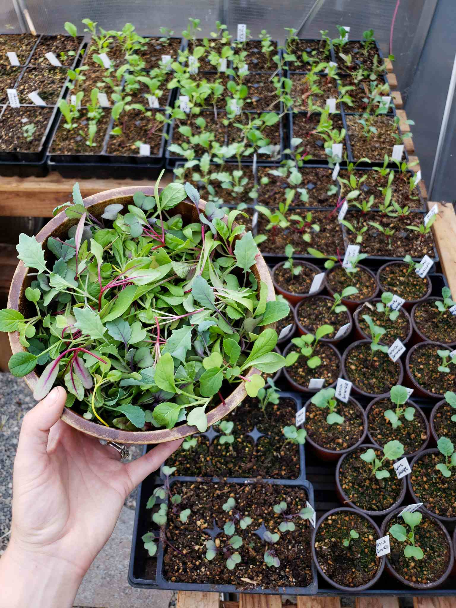 Une main tient un bol en bois plein de plants amincis qui se transforment en micro-verts. Il existe différents plateaux de six semis à cellules qui contiennent un seul semis de légumes ci-dessous. Les plants restants seront plantés dans le jardin une fois assez gros.