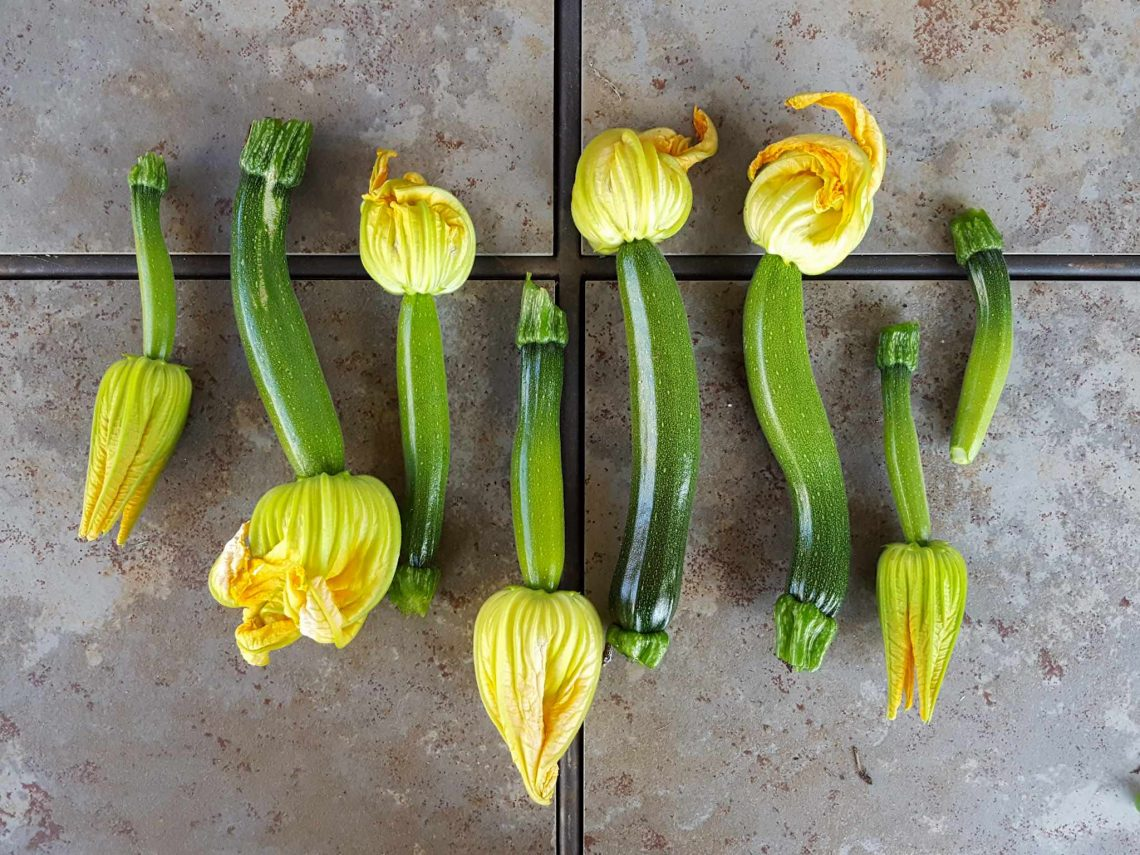 how to grow zucchini (summer squash): planting, pests, pollination & more ~  homestead and chill  homestead and chill