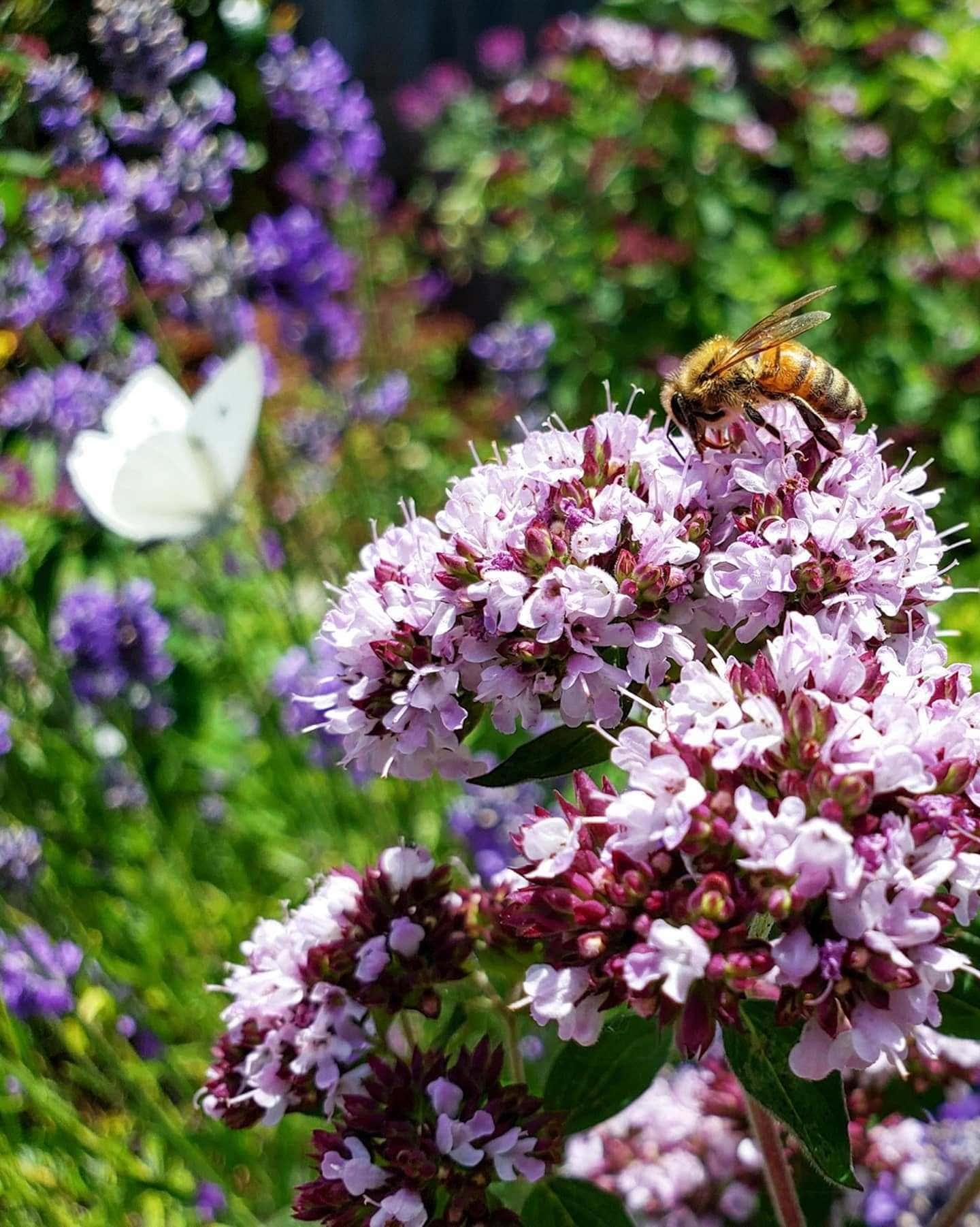 Une image en gros plan de fleurs d'origan en fleurs. Ils sont blanc violacé et une abeille est assise au sommet du monticule de fleurs pour recueillir le pollen. En arrière-plan flou se trouve une plante vivace à fleurs avec des lances à fleurs violettes avec un papillon blanc de chou reposant dessus.