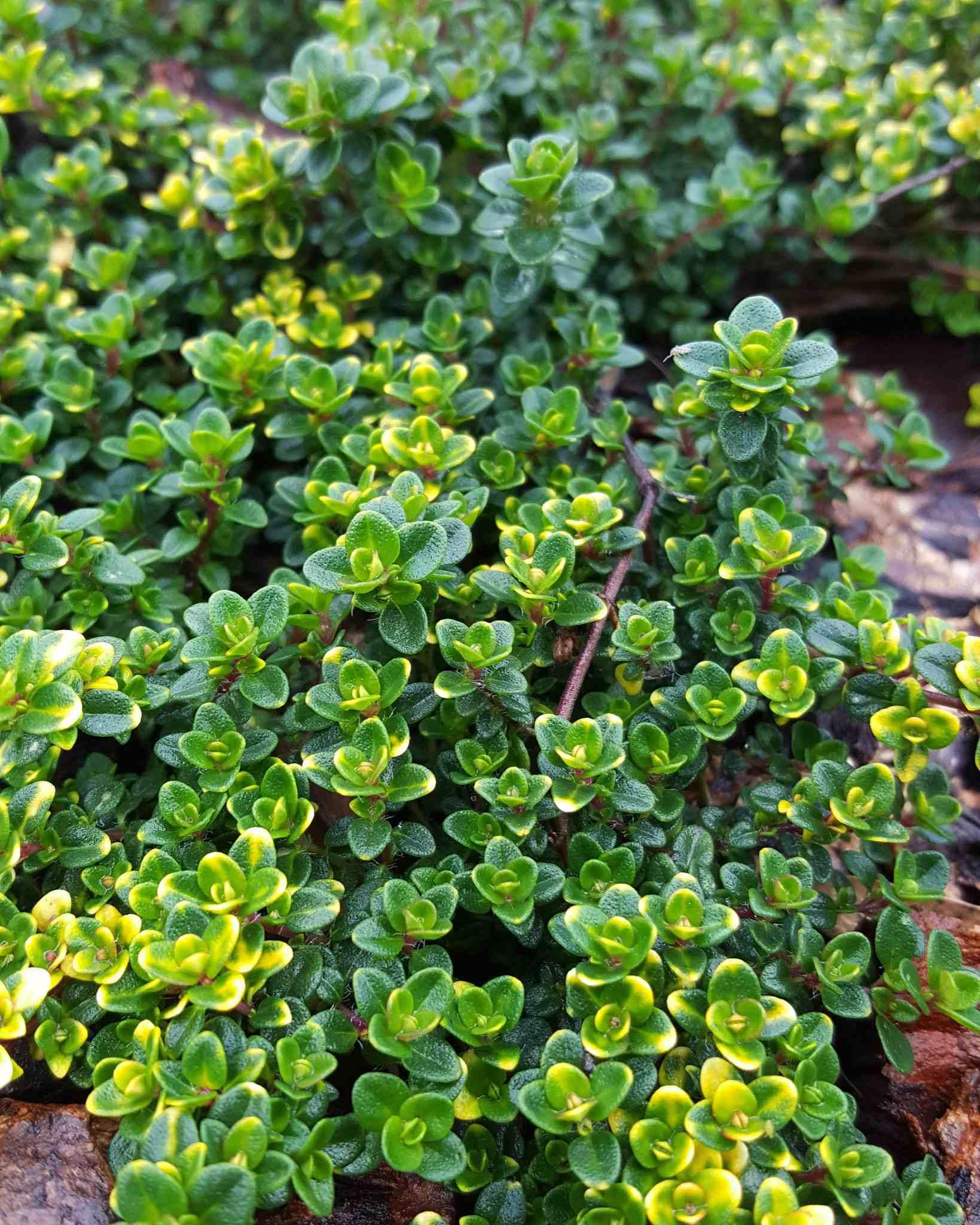 Image rapprochée d'une plante de thym citronné, elle s'est propagée comme le ferait une couverture végétale. Le soleil brille de la gauche, donnant un contraste de clair et sombre parmi les crevasses de la plante.