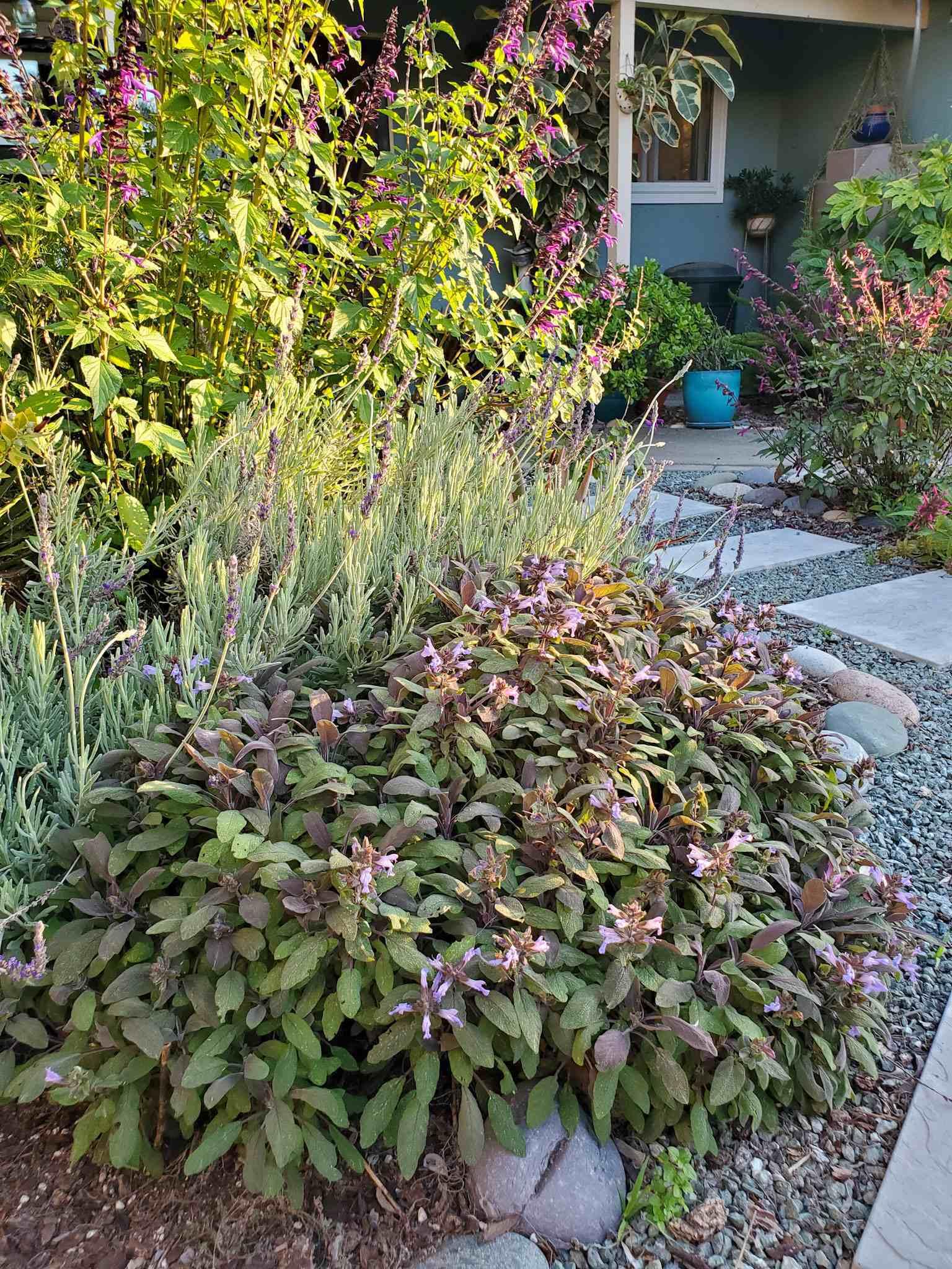 Une section d'une île de pollinisateur de cour avant est illustrée. Une grande plante de sauge pourpre touffue est l'objectif principal. Il s'est propagé dans un buisson de deux pieds par deux pieds et contient des feuilles qui varient du vert foncé au violet et des couleurs entre les deux. L'herbe est à fleur de fleurs violettes car elle fleurit dans certaines sections. Derrière la plante de sauge se trouve une variété de salvia, lavande, sauge et jade.