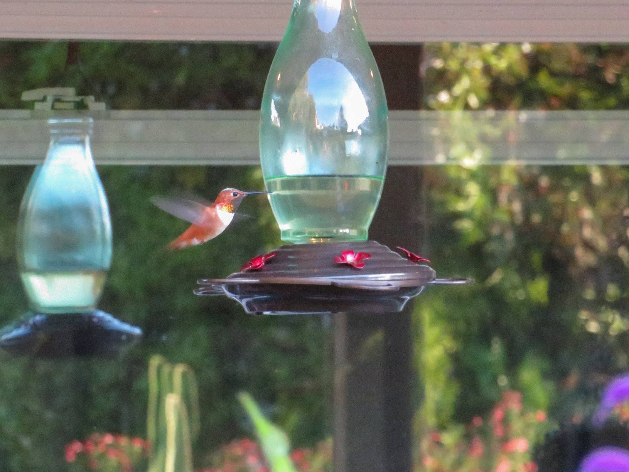 Homemade Hummingbird Food Nectar Recipe Feeder Care Faq Homestead And Chill
