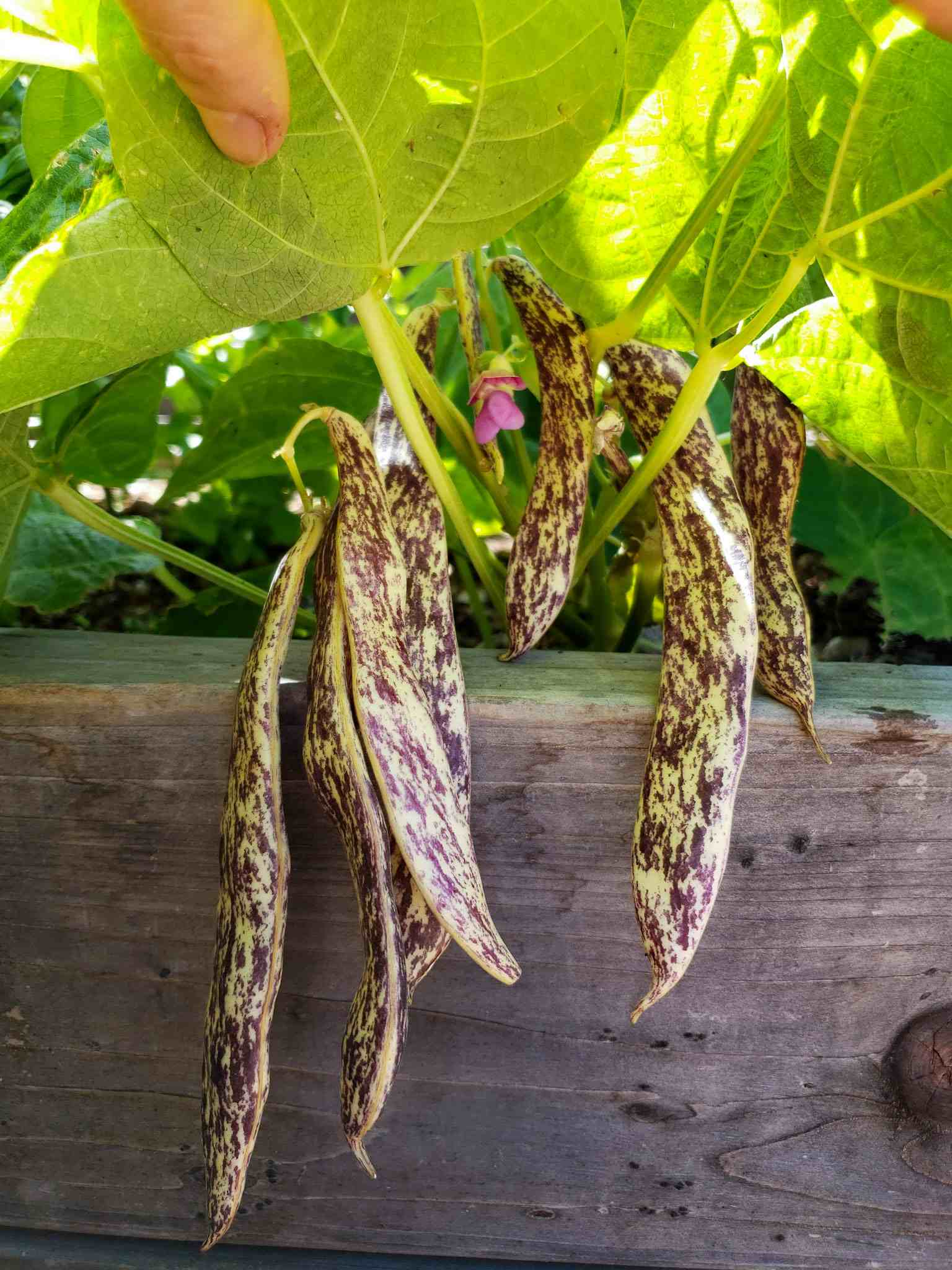 How To Grow Bushels Of Beans From Seed Bush Beans Pole Beans Homestead And Chill
