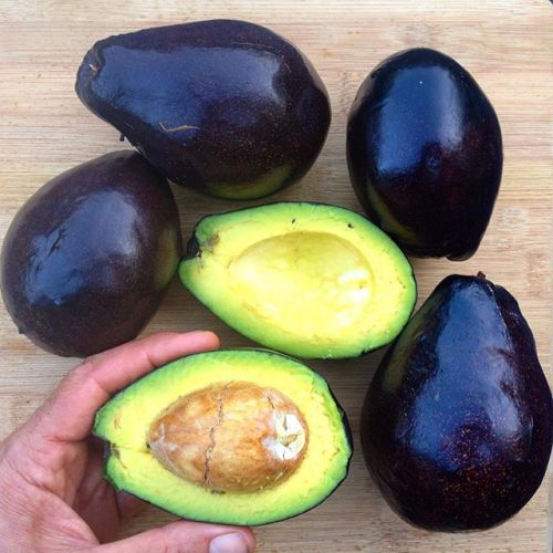 20 Awesome Avocado Varieties (Type A & Type B Avocados
