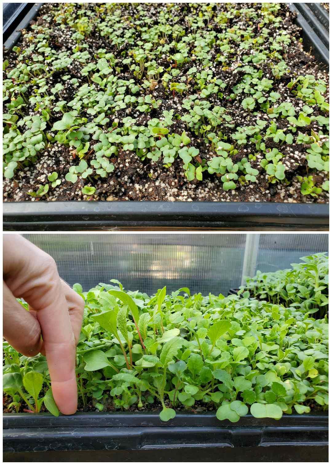 Collage d'images en deux parties, la première image montre un plateau de micro-verts récemment germés. Ils sont encore jeunes et les seules feuilles présentes sont leurs feuilles embryonnaires. La deuxième image montre le même plateau quelques semaines plus tard et les micro-verts ont mûri pour avoir un à deux ensembles de vraies feuilles. Une main utilise leur index pour illustrer la hauteur des verts, ils sont prêts pour la récolte.