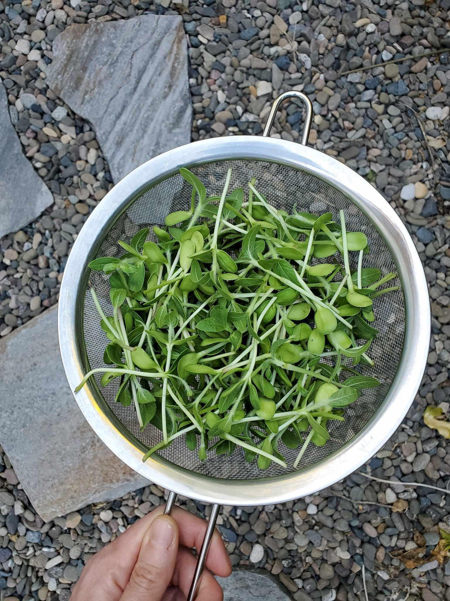 Une main tient une passoire métallique à mailles fines sur un chemin gravillonné. La passoire est pleine de micro-verts de tournesol fraîchement récoltés qui mesurent environ deux pouces de longueur.