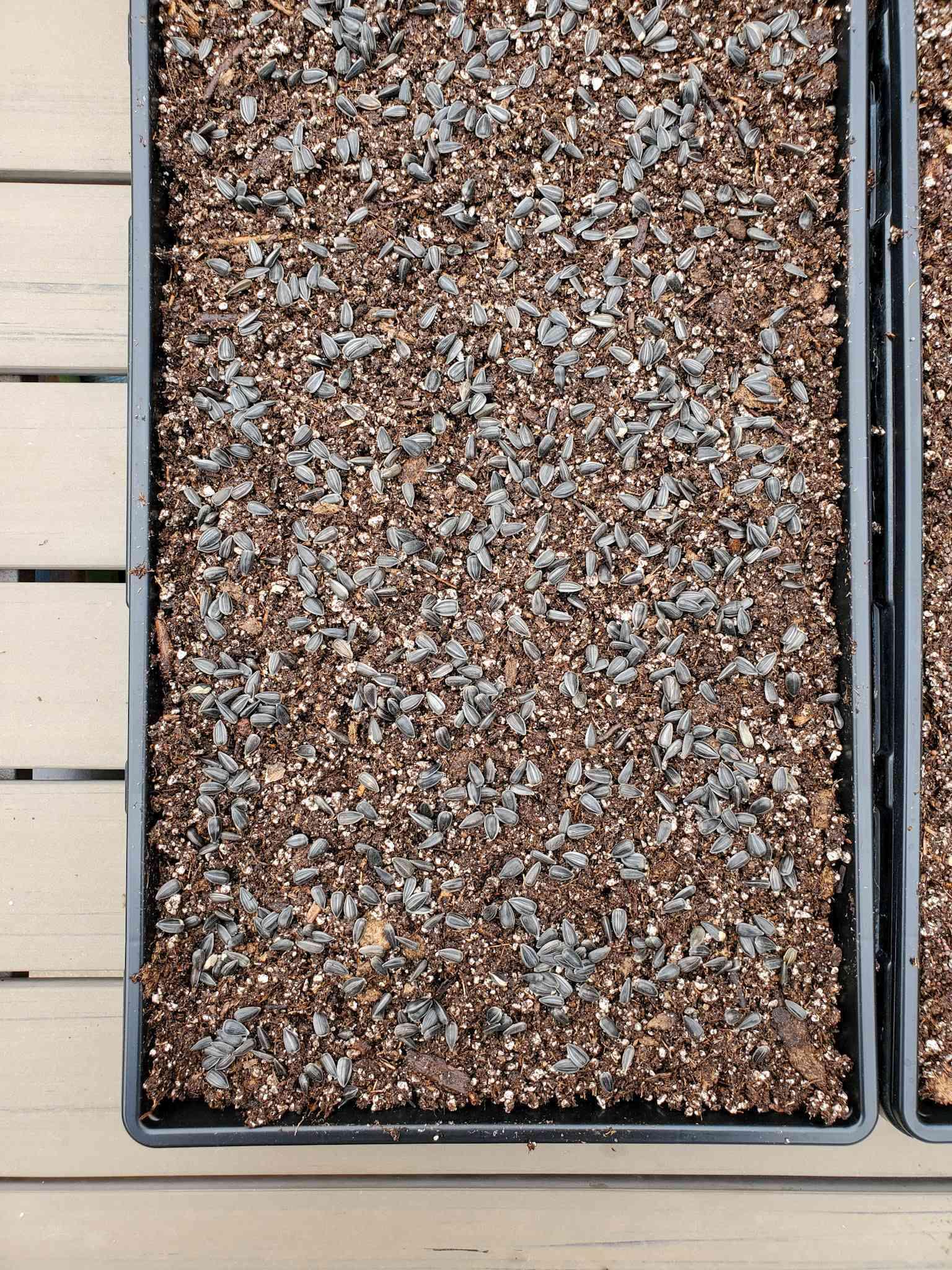 Un plateau de graines de tournesol semées au sommet d'un lit peu profond de mélange de départ. Ensuite, une petite quantité de mélange de départ de graines sera ajoutée sur le dessus pour couvrir légèrement les graines.