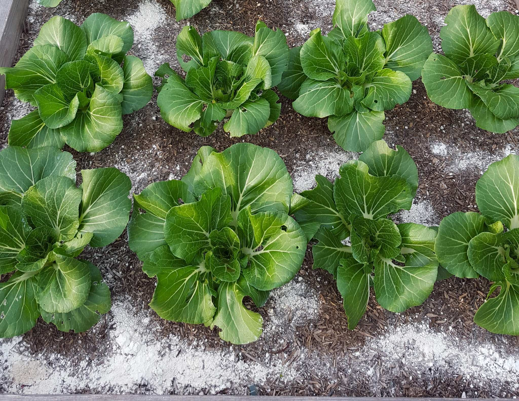 What Is Diatomaceous Earth How To Use De For Garden Pest Control Homestead And Chill
