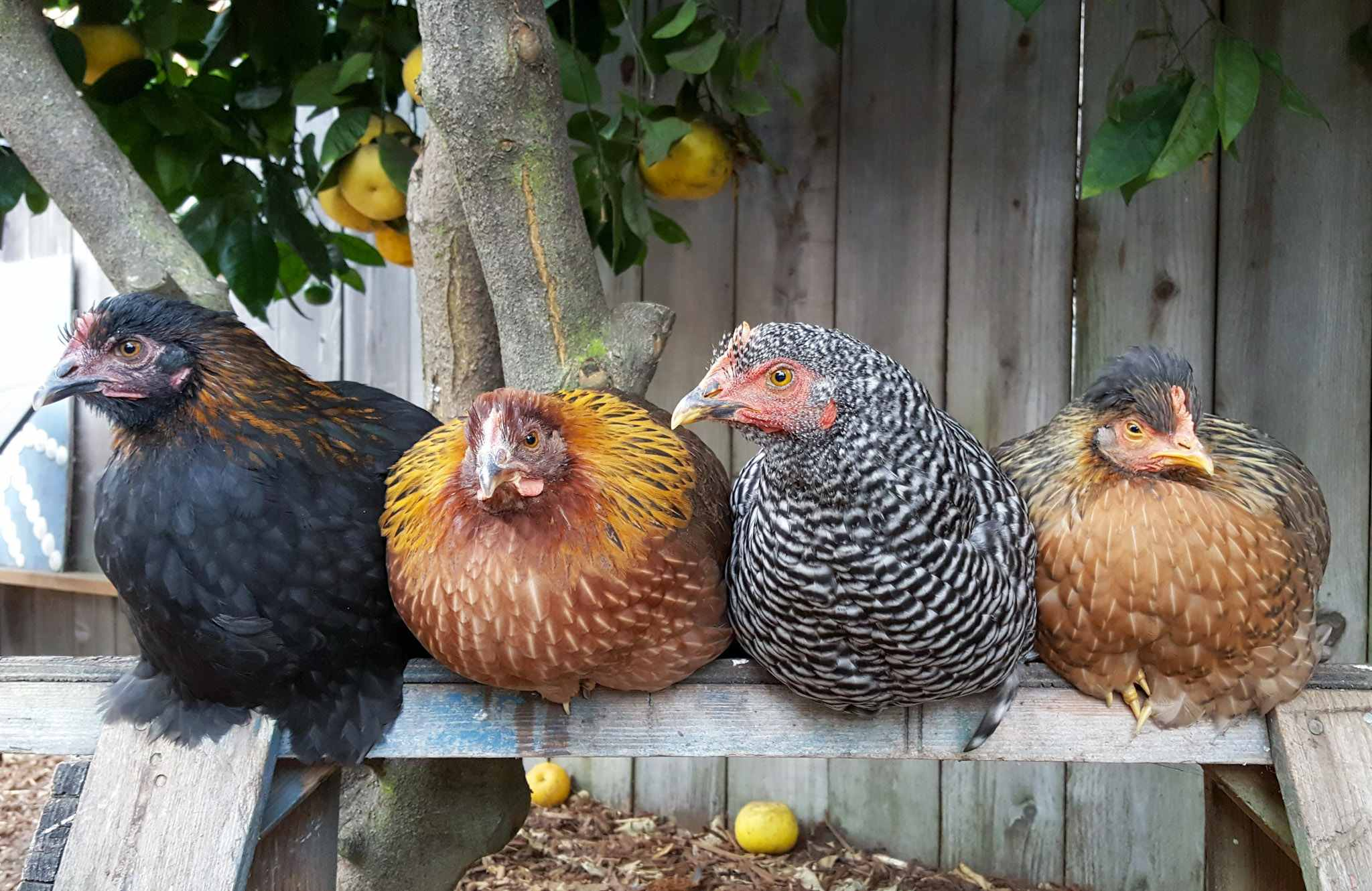 how often do sex link chickens lay eggs in Manchester